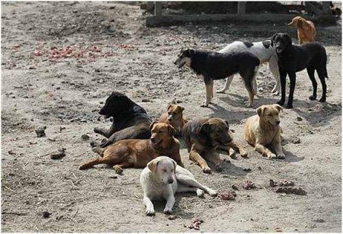 Dog pack1